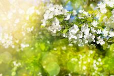 Free Flowers Of Apple Tree In Sunny Day Royalty Free Stock Photo - 28294215
