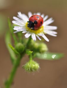 Free Seven-spot Ladybird Stock Image - 28294751