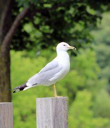 Free Seagull Royalty Free Stock Photo - 28296865