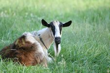 Free Goat Relaxing On Pasture Stock Photos - 28299343