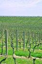 Free Italian Vineyard Royalty Free Stock Photography - 2832487