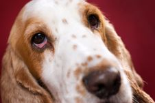 Free Bloodshot Eye Of Spaniel Stock Image - 2830101