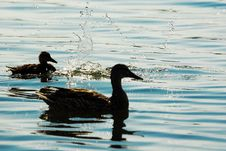 Free Ducks In The Sunset Royalty Free Stock Photos - 2830278