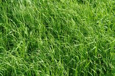 Free Green Grass Royalty Free Stock Photography - 2831387