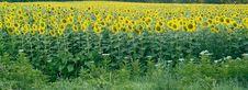 Free Sunflowers Royalty Free Stock Image - 2831506