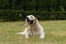 Free Golden Retriver Stock Photo - 2831620