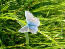 Free Butterfly On Grass Blue Royalty Free Stock Photography - 2835477