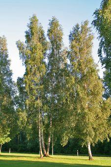 Free Birches Royalty Free Stock Photo - 2835605