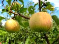 Free Very Tasty And Ripe Apples Stock Images - 28304314