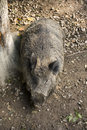 Free Adult Wild Boar Stock Photos - 28305323
