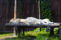 Free South African Lion And Female Rests Royalty Free Stock Images - 28309009