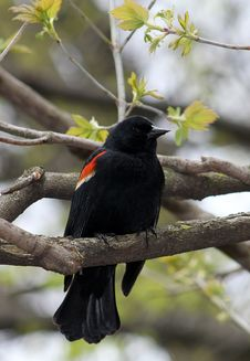 Free Black Bird Royalty Free Stock Photo - 28300265