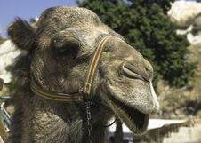 Free Camel Portrait Stock Photography - 28300862