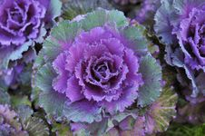 Free Red Cabbage Royalty Free Stock Photo - 28307015