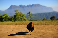 Free Asia Chicken Royalty Free Stock Images - 28307069