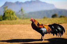 Free Thai Chicken Stock Photo - 28307130