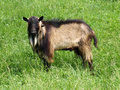 Free Billy Goat Royalty Free Stock Image - 28315606