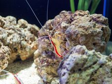 Amboin Cleaner Shrimp Stock Image