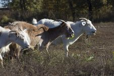 Free Goats Eating Royalty Free Stock Images - 28314679