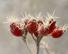 Free Winter Hawthorn Berries Royalty Free Stock Photos - 28316998