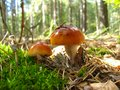 Free Beautiful Young Fly Agaric In The Forest Stock Photography - 28324462