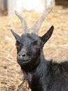 Free A Black Goat Looking At The Camera Royalty Free Stock Photos - 28325378