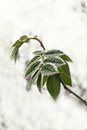 Free Rose Leaves In Hoarfrost. Royalty Free Stock Images - 28327739