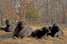 Free Water Buffalo Lie In The Hot Sun Chewing. Royalty Free Stock Photos - 28321918