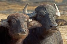 Free Water Buffalo Lie In The Hot Sun Chewing. Royalty Free Stock Photo - 28322005