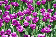 Free Plantation Purple Tulips. Stock Images - 28322334