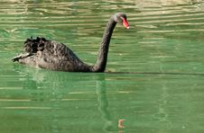 Free A Black Swan Floats In Search Of Food. Royalty Free Stock Image - 28323156