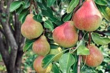 Free Close-up Of Ripe Pears Royalty Free Stock Image - 28323356