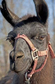 Free Closeup Of A Black Llama With A Red Halter. Royalty Free Stock Photos - 28323498