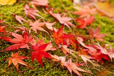 Autumn Red Leaves. Stock Image