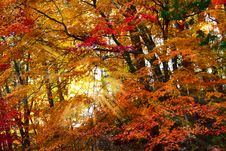 Free Sunlight On Autumn Leaves. Royalty Free Stock Images - 28326539
