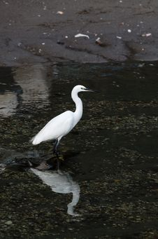 Free White Egret Royalty Free Stock Photo - 28329585