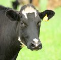 Free Cow Close-Up Looking At Camera Royalty Free Stock Images - 28330129