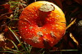 Free Red Fly Agaric In Forest, Bulgaria Royalty Free Stock Photo - 28334645
