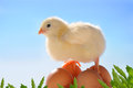 Free Little Yellow Easter Chick Stock Image - 28335191
