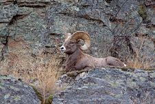 Free Big Horn Ram On Ledge Stock Photos - 28333483
