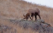 Free Big Horn Ram Feeding Stock Photography - 28333572