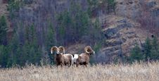 Free Two Big Horn Rams Stock Images - 28333604