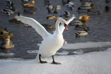 Free White Swan Royalty Free Stock Photography - 28335667