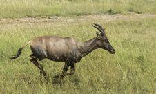 Free Run Of Antelope Topi Stock Photography - 28337322