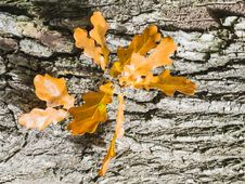 Autumnal Oak Leaves Royalty Free Stock Photography