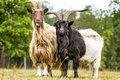 Free Wall Essential Goat Stock Images - 28342004