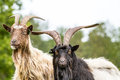 Free Wall Essential Goat Royalty Free Stock Photo - 28342005