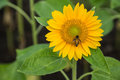 Free Sunflower And Working Bee Royalty Free Stock Photo - 28343135