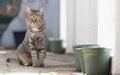 Free Thai Cat Looking Toward You Royalty Free Stock Photos - 28346598