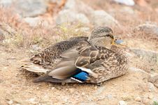 Free Mallard Duck Sitting On The Shore Close-Up Stock Images - 28347574